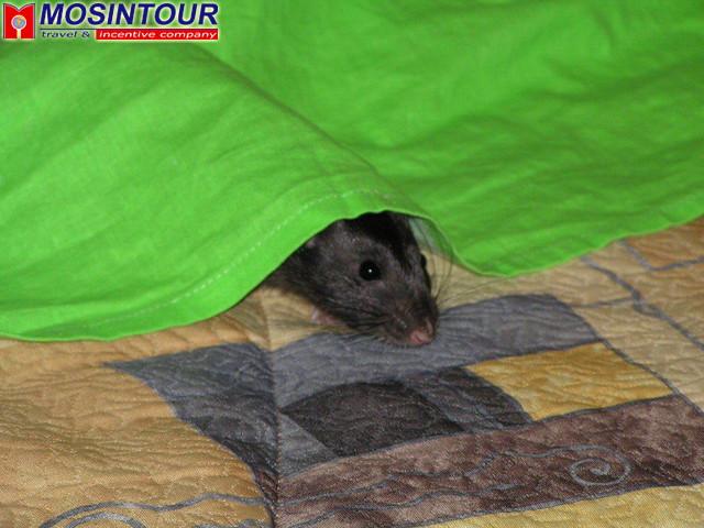 К чему снится беременная черная крыса